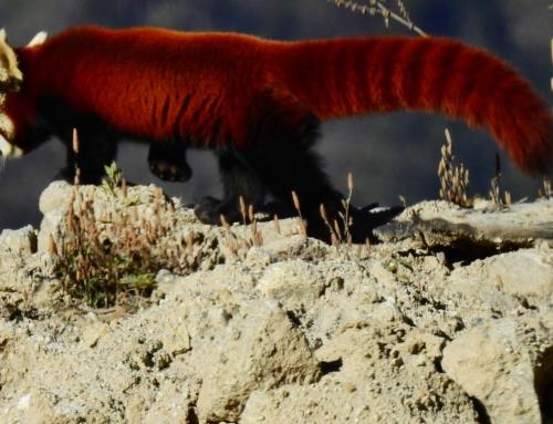 Bhutan – Sichtung eines Red Panda